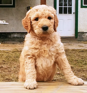 Stunning Goldendoodle Labradoodle Puppies Golden Doodle