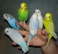 Lost - budgie or parakeet