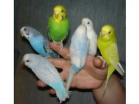 Budgies free to a good home