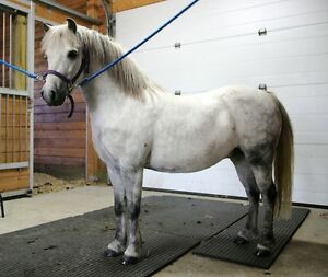 8 year old Shetland Pony