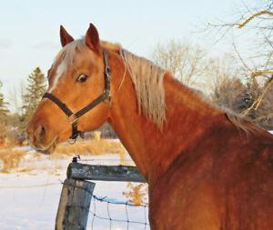 16hh AQHA stallion available for breeding