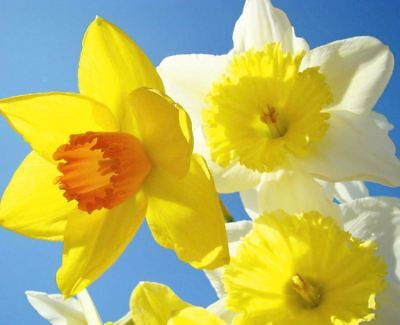 20 DWARF DAFFODIL NARCISSUS MIX GARDEN BULB AUTUMN GROWING SPRING FLOWERING CORM - Grow Narcissus Bulbs