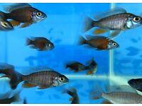 Kadango | Malawi | African Cichlids | 2.5 Inches | Tropical Fish