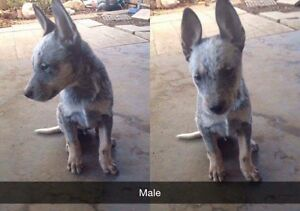 5 PURE BREED BLUE CATTLE DOG PUPPIES FOR SALE Ipswich Ipswich City Preview