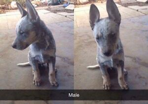 4 Pure Breed Blue Cattle Pups Ipswich Ipswich City Preview