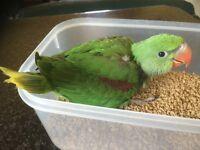 HandReared Chunky Alexandren 12wks baby Parrot