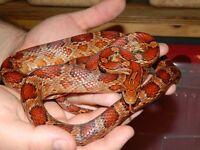 Red corn snake ( 6 months old ) £15 also new vivarium heater £10