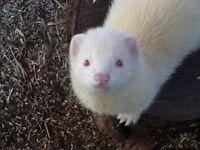 albino ferret URGENT