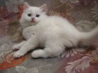 Beautiful blue eyed angora Kitten