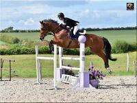 🔷 Fabulous Amatuers Horse 🔷