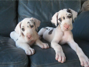 LOOKIG FOR A GREAT DANE