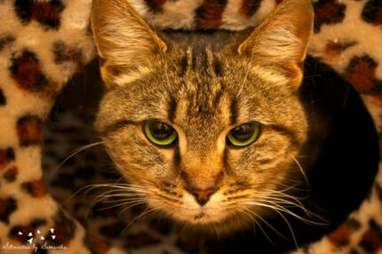 Tiger rescue cat VET WORK INC Warwick Joondalup Area Preview