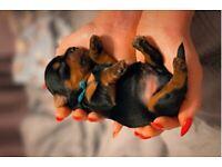 UK KC registered Yorkshire terrier puppies