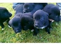Colliedor puppies