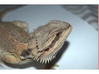 Baby Bearded Dragon For Sale | Last One!