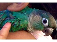 Beautiful Baby Turqouise Cheek Conure Female with DNA Cert