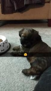 1 Left! 5 Shih Tzu puppies for sale