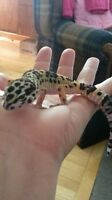 Leopard gecko with all assesories