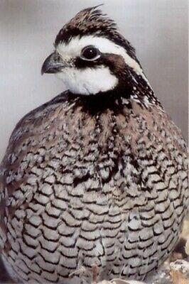 12 Speckled Bobwhite Quail Hatching Eggs Gifts