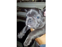 READY NOW BEAUTIFUL KC BLUE FRENCH BULLDOG GIRL