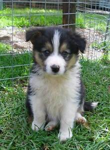 BORDER COLLIE PUPS from Registered breeder Est 1967 Hay Hay Area Preview