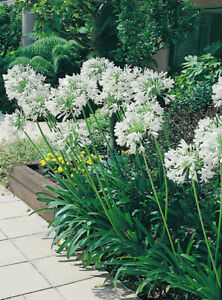 Wanted Agapanthus plants