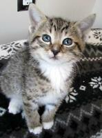 "Baby Female Cat - Domestic Short Hair: ""Minou - ON TRIAL"""