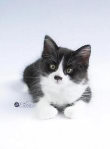 Baby Male  - Domestic Short Hair (Black & White)