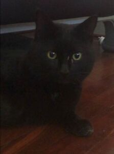 Lost Kitty - Mount Lawley Mount Lawley Stirling Area Preview