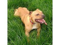 Staffy dog for sale