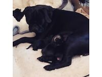 Pug/Jug Puppies 3x boys and 2x girls