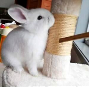Cutest Baby bunny netherland dwarf and mini lop rabbit