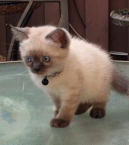 Ragdoll x Himalayan kittens - 1 Male Left