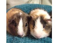 Male Guinea pigs