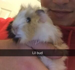 Two Young Guinea Pigs need a new home!