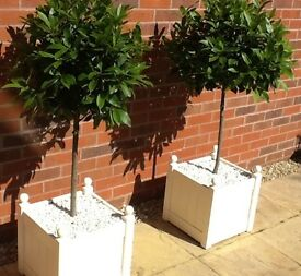 Bay Tree x 2 in Cream Wooden Planters