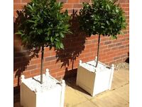 Bay Tree x 2 in Cream Wooden Planters