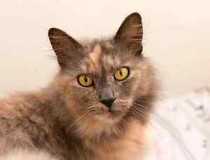 Molly rescue CAT available for adoption VET WORK INCLUDED Wembley Downs Stirling Area Preview