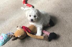 Bishon Frise Male pup