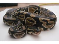 6 year old Female Royal Python for quick sale £100 bargain!