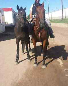 11 year old Standardbred gelding