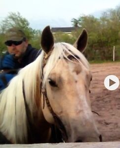Palomino mare  very well trained