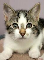 "Baby Female Cat - Domestic Short Hair-Tabby: ""Cardenia"""