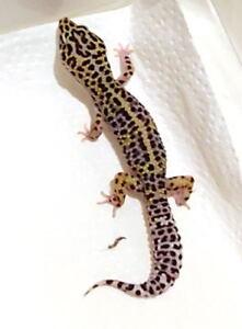 Breeder  Female Geckos For Sale