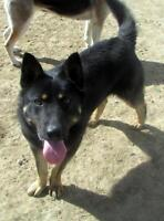 "Adult Male Dog - Shepherd: ""Caesar"""