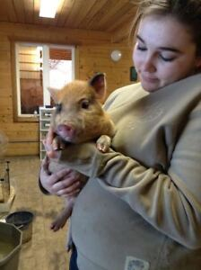 Potbelly/Juliana Piglets! *updated pictures!