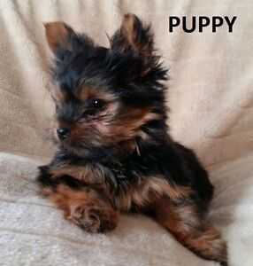 YORKSHIRE TERRIER PUPPY - 1 MALE FOR SALE