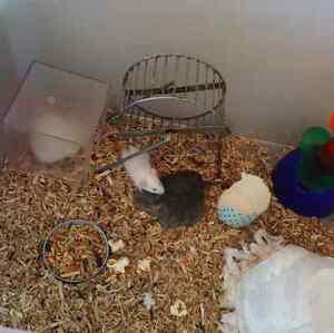 *PET* MICE FOR SALE TO A LOVING HOME Noble Park Greater Dandenong Preview