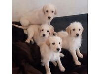 Labradoodle puppies (3 LEFT) ready to go now