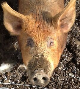 Looking for boar to breed my tamworth sow